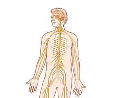 sistema nervioso central esteroides
